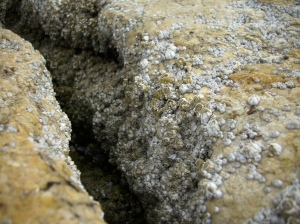 Barnacles in a tidal pool:crevice