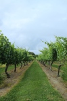 Carolyn's Sakonnet Vineyard